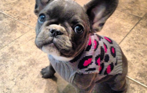 French Bulldog Wallpapers HD