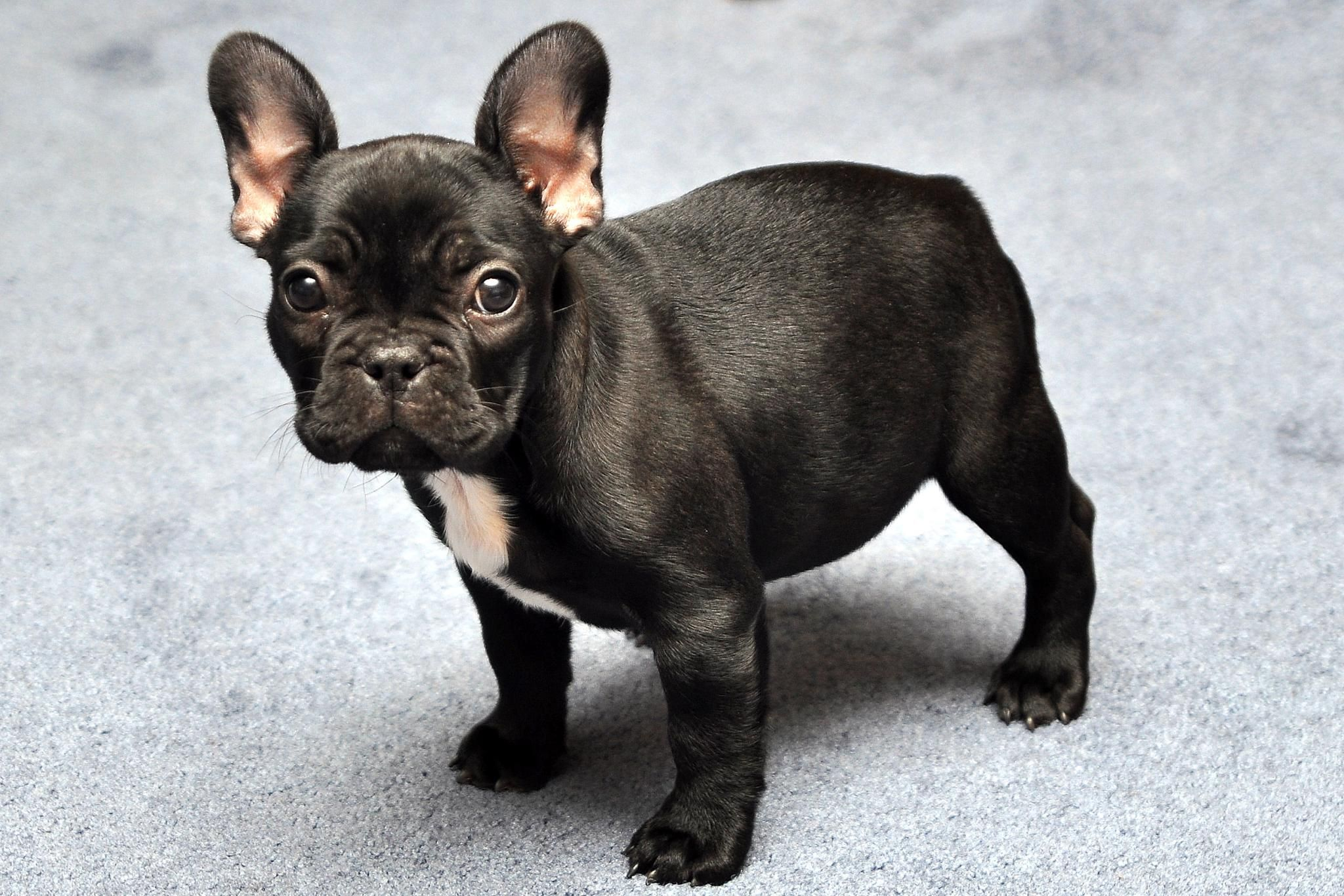 how to teach french bull