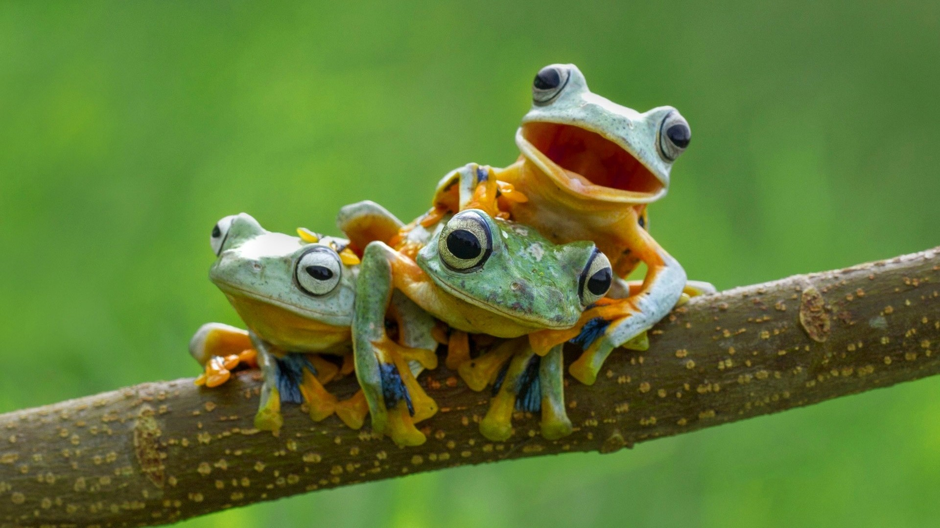 Beautiful Frog Wallpaper Download For Free Goats Animal: Frog HD Wallpapers