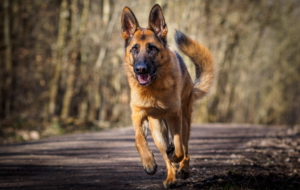 German Shepherd High Definition Wallpapers