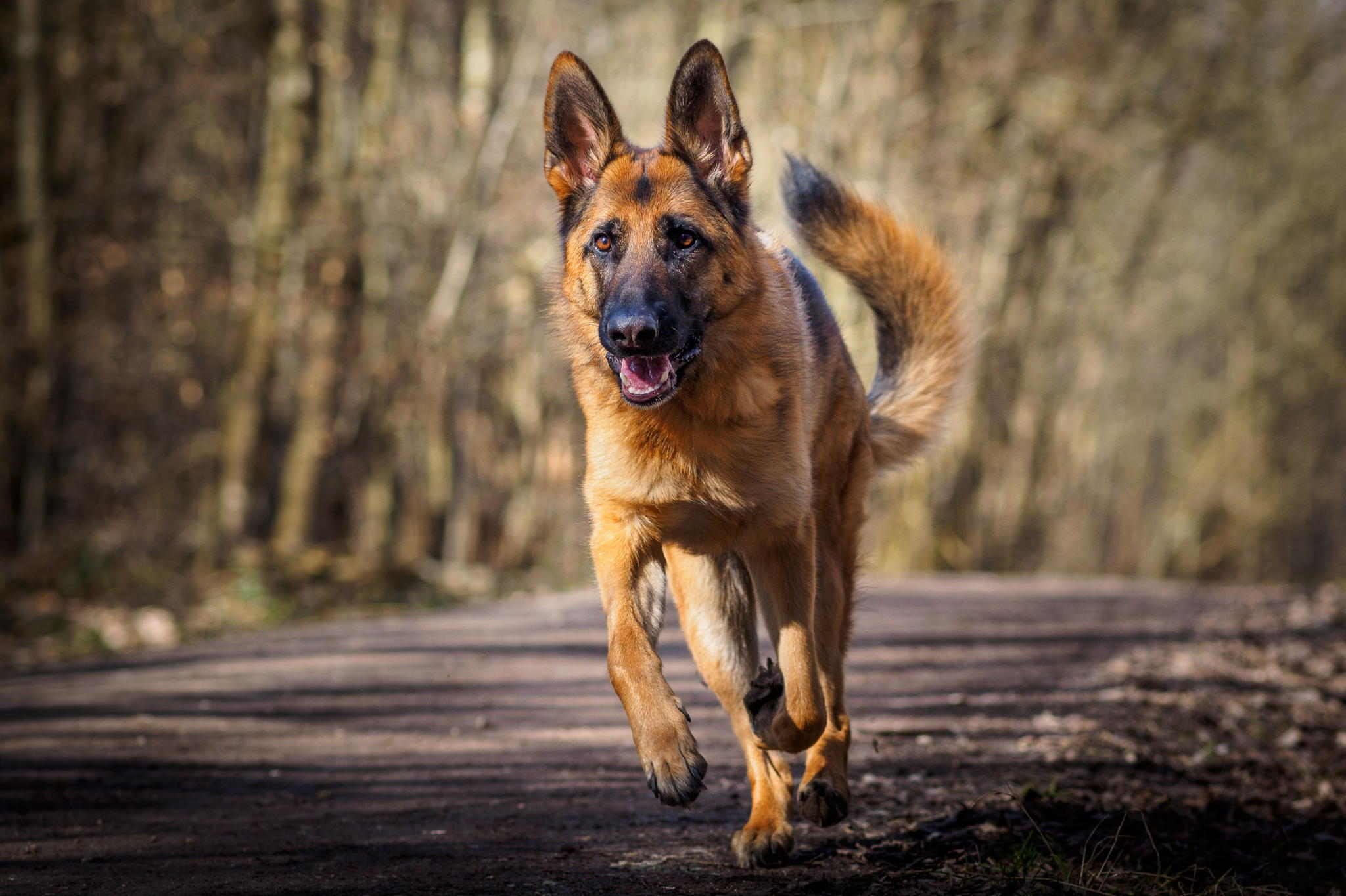 german shepherd hd wallpapers