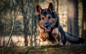 German Shepherd Full HD