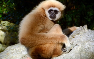 Gibbon Background