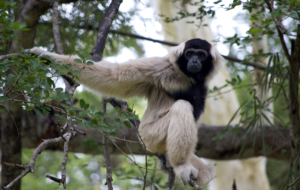 Gibbon HD Background