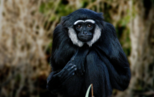 Gibbon HD Wallpaper