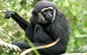 Gibbon High Quality Wallpapers