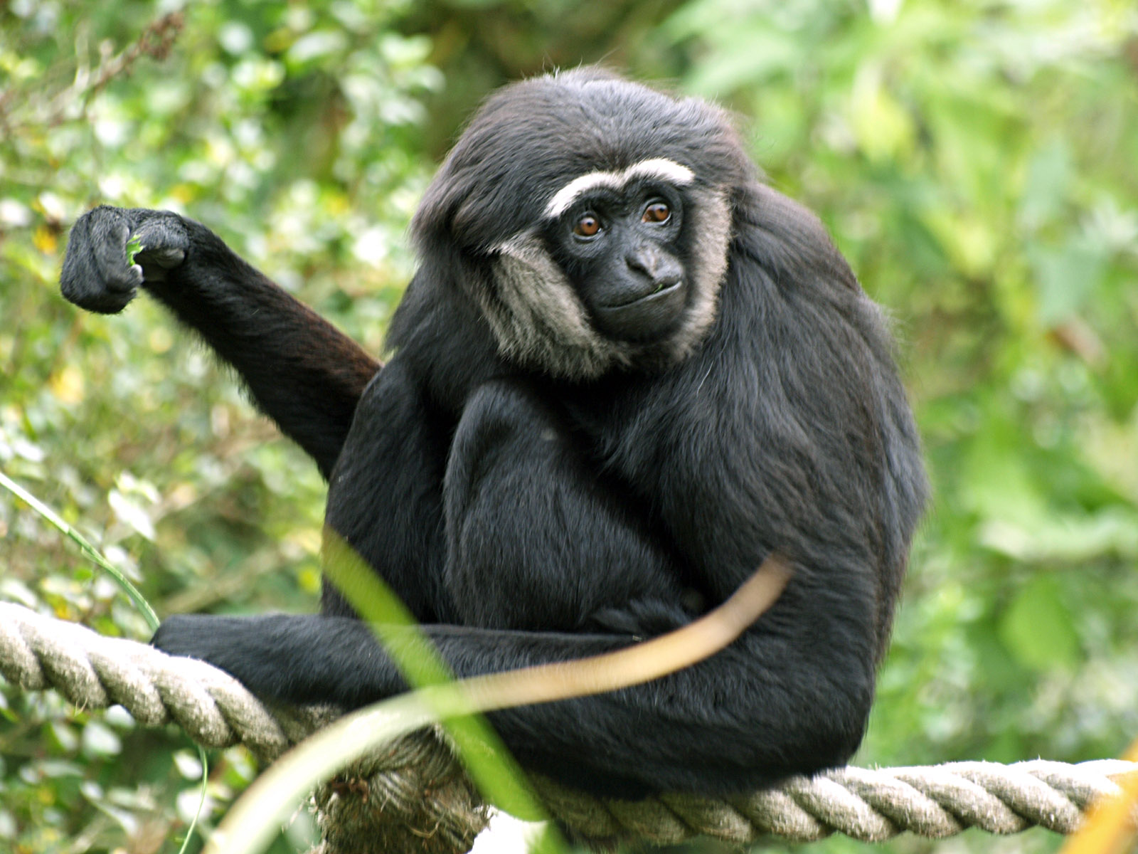 Gibbon-High-Quality-Wallpapers.jpg
