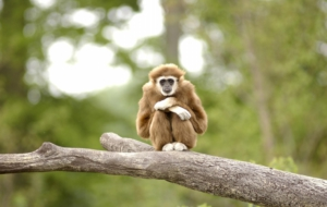Gibbon Photos