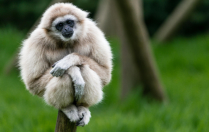 Gibbon Wallpapers