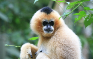 Gibbon For Deskto