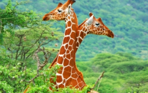 Giraffe High Definition Wallpapers