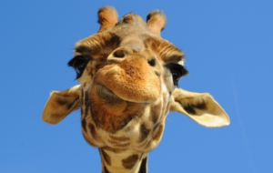 Giraffe Widescreen