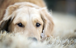 Golden Retriever 4K