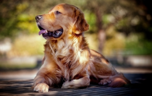 Golden Retriever HD