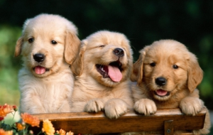 Golden Retriever HD Background