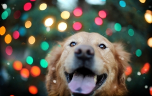 Golden Retriever HD Wallpaper