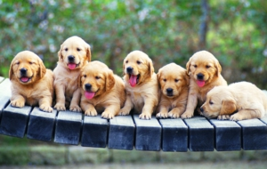 Golden Retriever High Quality Wallpapers