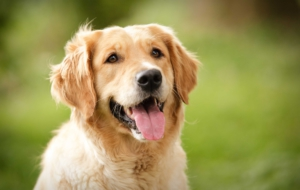 Golden Retriever Wallpapers HD
