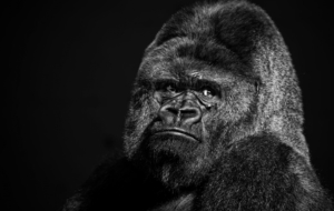 Gorilla Widescreen