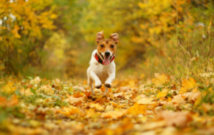 Jack Russel High Definition Wallpapers