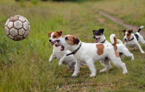 Jack Russel High Quality Wallpapers