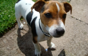 Jack Russel Images