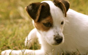 Jack Russel Photos