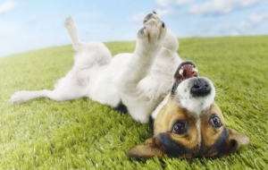 Jack Russel Wallpapers