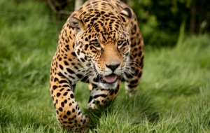 Jaguar High Definition