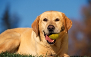 Labrador Retriever HD Background