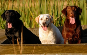 Labrador Retriever High Definition