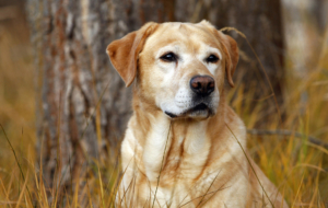 Labrador Retriever Widescreen