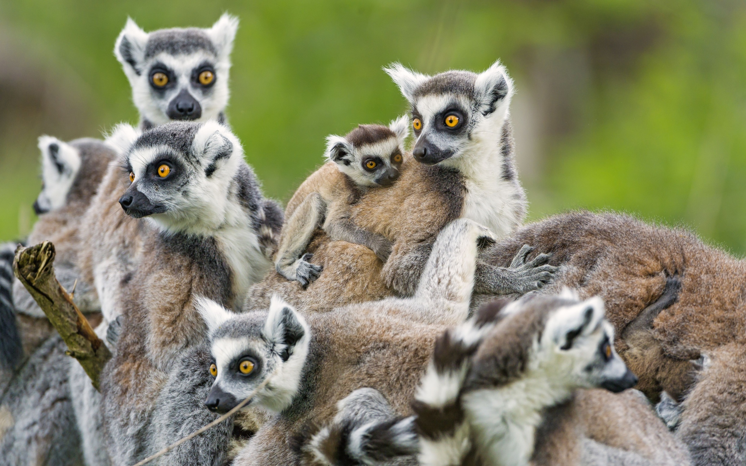 Lemur HD Wallpapers