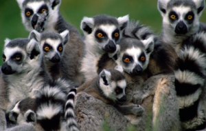 Lemur High Definition Wallpapers