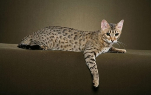 Leopard Cat Background