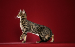 Leopard Cat HD