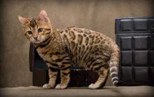 Leopard Cat HD Background