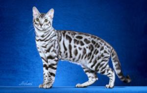 Leopard Cat HD Deskto