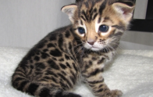 Leopard Cat HD Wallpaper