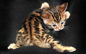 Leopard Cat High Definition