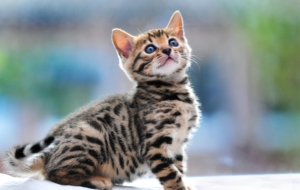 Leopard Cat High Definition Wallpapers