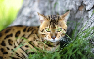 Leopard Cat High Quality Wallpapers