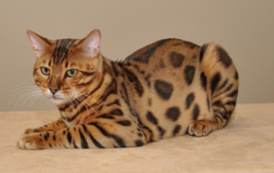 Leopard Cat Photos