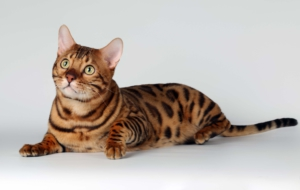 Leopard Cat Wallpaper