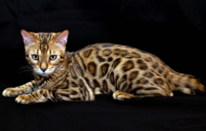 Leopard Cat Wallpapers