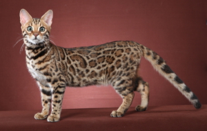 Leopard Cat Wallpapers HD