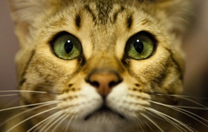Leopard Cat Widescreen