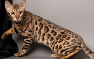 Leopard Cat For Deskto