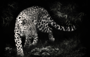 Leopard HD Background