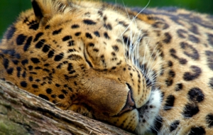Leopard High Definition